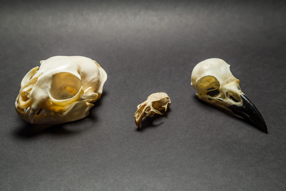 cat rat crow skulls